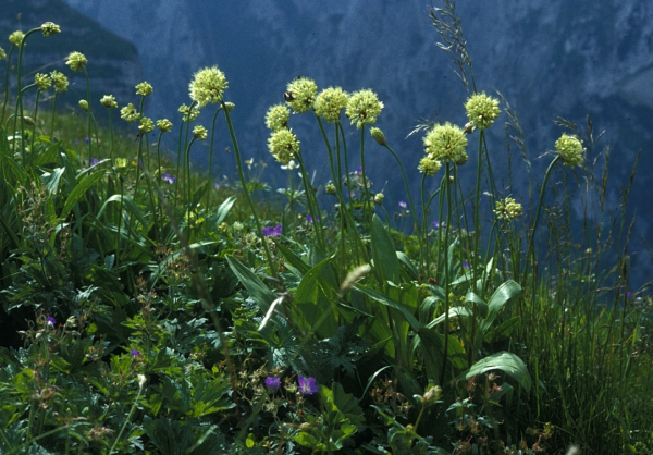 Allermannsharnisch (Allium victorialis)
